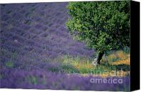 Traveller Canvas Prints - Field of lavender Canvas Print by Bernard Jaubert