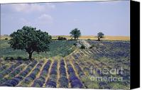 Traveller Canvas Prints - Field of lavender. Sault. Vaucluse Canvas Print by Bernard Jaubert