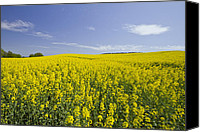 Rapeseed Canvas Prints - Field of Rapeseeds Canvas Print by Melanie Viola