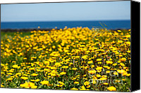 Same Day Flowers Canvas Prints - Field of yellow daisies Canvas Print by Gaspar Avila