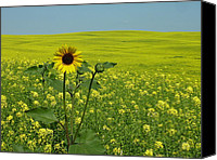 Estephy Sabin Figueroa Photo Canvas Prints - Field of Yellow Canvas Print by Estephy Sabin Figueroa