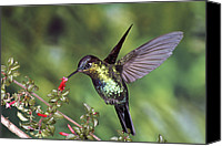 Fuchsia Canvas Prints - Fiery-throated Hummingbird Panterpe Canvas Print by Michael & Patricia Fogden