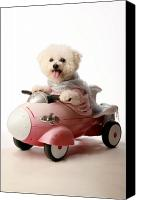 Michael Ledray Canvas Prints - Fifi the Bichon Frise and her Rocket Car Canvas Print by Michael Ledray