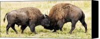 Bison Canvas Prints - Fight  Canvas Print by Larry Ricker