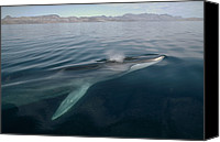 Animal Behaviour Canvas Prints - Fin Whale Balaenoptera Physalus Canvas Print by Flip Nicklin