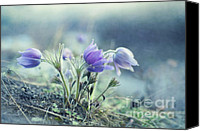Pulsatilla Vulgaris Canvas Prints - Finally Spring Canvas Print by Priska Wettstein