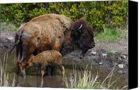 Bison Canvas Prints - First Born Canvas Print by Karon Melillo DeVega