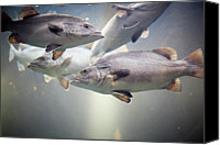 Fish Canvas Prints - Fish In Water Of Tank Canvas Print by Photos by Carol