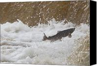 Challenge Canvas Prints - Fish Jumping Upstream In The Water Canvas Print by John Short