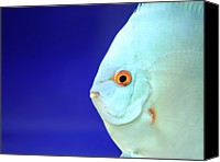 Animal Photo Canvas Prints - Fish Canvas Print by Photography T.N.T