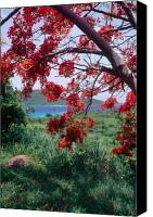 Puerto Rico Canvas Prints - Flamboyan Tree Canvas Print by George Oze