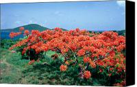 Puerto Rico Photo Canvas Prints - Flamboyan Tree in Bloom Culebra Puerto Rico Canvas Print by George Oze