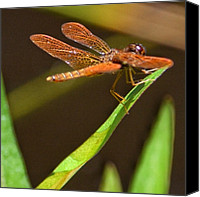 Dragonfly Canvas Prints - ~flame Skimmer Dragonfly~ Canvas Print by Penni Daulerio