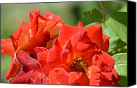 Flaming June Canvas Prints - Flaming Red Roses Canvas Print by Maria Urso - Artist and Photographer