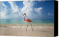 Walked Canvas Prints - Flamingo Walking Along Beach Canvas Print by Ian Cumming