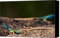 Wildlife Canvas Prints - Flat Lizards Canvas Print by Hein Welman