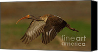 Ibis Canvas Prints - Flight Of The Immature Ibis Canvas Print by Robert Frederick