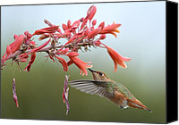 Annas Hummingbird Canvas Prints - Floating Canvas Print by Fraida Gutovich