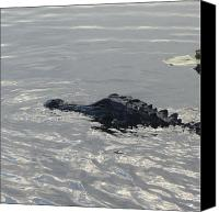 Gator Canvas Prints - Floating Gator Canvas Print by Cathy Lindsey