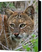 White Photo Special Promotions - Florida Bobcat Canvas Print by Ira Runyan