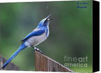 Scrub-jay Photo Canvas Prints - Florida scrub jay eating Canvas Print by Barbara Bowen