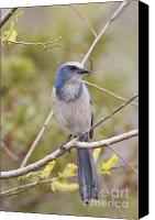 Scrub-jay Photo Canvas Prints - Florida Scrub Jay Canvas Print by James Mundy