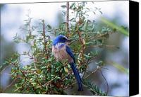 Scrub-jay Photo Canvas Prints - Florida Scrub Jay Canvas Print by John Burk