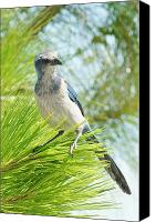 Scrub-jay Photo Canvas Prints - Florida Scrub Jay Canvas Print by Lynda Dawson-Youngclaus