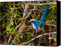Scrub-jay Photo Canvas Prints - Florida Scrub Jay Canvas Print by Mike Darrah