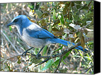 Scrub-jay Photo Canvas Prints - Florida Scrub Jay Canvas Print by Peg Urban