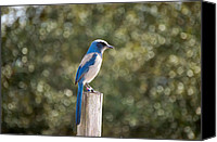 Scrub-jay Photo Canvas Prints - Florida Scrub Jay Canvas Print by Rich Leighton
