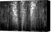Florida Nature Photography Canvas Prints - Florida Tall Pines Canvas Print by Carolyn Marshall