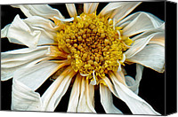 Scanned Canvas Prints - Flower - Daisy - Drunken sun Canvas Print by Mike Savad