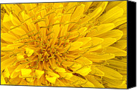 Scanned Canvas Prints - Flower - Dandelion Canvas Print by Mike Savad