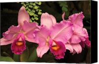 Cattleya Canvas Prints - Flower - Orchid -  Cattleya - Magenta Splendor Canvas Print by Mike Savad
