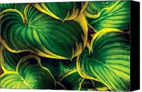 Green Leaves Canvas Prints - Flower - Plant - Hosta Leaves Canvas Print by Mike Savad