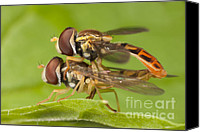 Close Up Canvas Prints - Flower Flies Mating Canvas Print by Clarence Holmes
