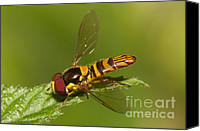 Close Up Canvas Prints - Flower Fly Allograpta Obliqua Canvas Print by Clarence Holmes