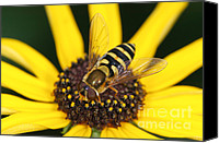 Invertebrate Canvas Prints - Flower Fly and Yellow Flower Canvas Print by Clarence Holmes