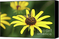 Invertebrate Canvas Prints - Flower Fly and Yellow Flowers Canvas Print by Clarence Holmes
