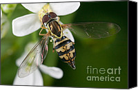 Invertebrate Canvas Prints - Flower Fly Toxomerus Geminatus Canvas Print by Clarence Holmes