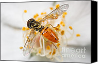 Invertebrate Canvas Prints - Flower Fly Toxomerus Marginatus Canvas Print by Clarence Holmes