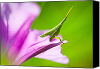 Grasshopper Canvas Prints - Flower hopping Canvas Print by Johan Larson