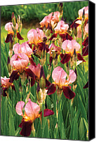Morrison Canvas Prints - Flower - Iris - GY Morrison Canvas Print by Mike Savad