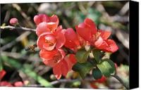 Nature Flowers Canvas Prints - Flowering Quince Canvas Print by Jan Amiss Photography
