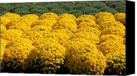 Chrysanthemums Photographs Canvas Prints - Flowers 409 Canvas Print by Joyce StJames