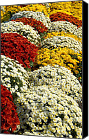 Chrysanthemums Photographs Canvas Prints - Flowers 411 Canvas Print by Joyce StJames