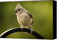 Bird On Feeder Canvas Prints - Flowing Tufted Titmouse Canvas Print by Bill Tiepelman
