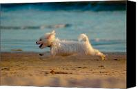 Maltese Canvas Prints - Flying Dog Canvas Print by Harry Spitz
