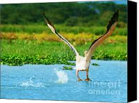 White Pelican Canvas Prints - Flying Great White Pelican Canvas Print by Anna Omelchenko